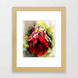 Dying Rose... Framed Art Print