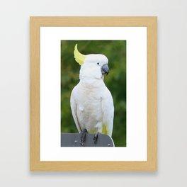 Sulfur crested cockatoo Framed Art Print