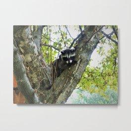 Baby Raccoon on a tree Metal Print