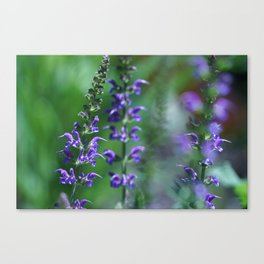 Salvia in Bloom Canvas Print