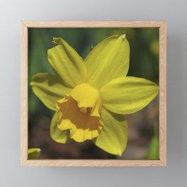 Beautiful Spring Daffodil Framed Mini Art Print