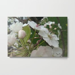 Plum Buds and Blossoms Metal Print