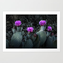Cactus Blooming in the Anza-Borrego Desert State Park, Southern California Art Print