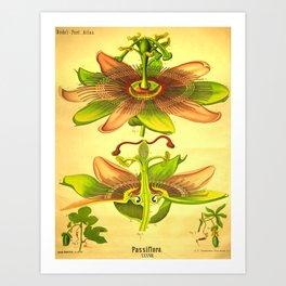 vintage Botanical illustration (passiflora) Art Print