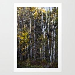 Maine Birches 1 Art Print