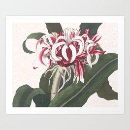 Queen Emma Spider Lily botanical watercolour Art Print