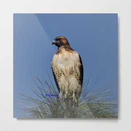 Red-Tailed Hawk on Watch at Foothill and B Street Metal Print