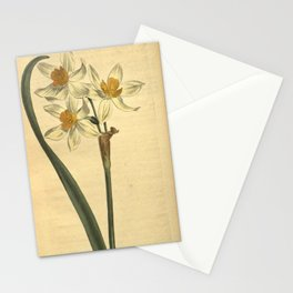 Flower 948 narcissus orientalis Cream coloured Narcissus of Levant10 Stationery Cards