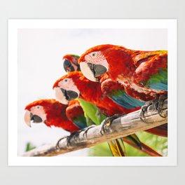 Red macaws Art Print