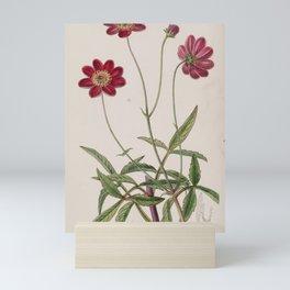 Flower 015 cosmus scabiosoides Scabious like Cosmus21 Mini Art Print