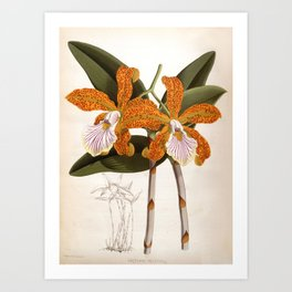 Cattleya Velutina Vintage Lindenia Orchid Art Print