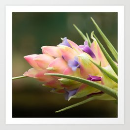 An airplant from Brazil, Tillandsia stricta AB5607 Art Print