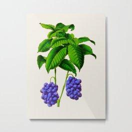 Vintage Scientific Plant Illustration Large Blueberries Hand Drawn Historic Art Metal Print