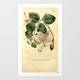 Flower 291 capparis spinosa Caper Shrub19 Art Print