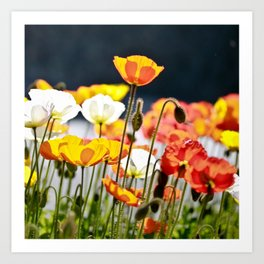 Italian Poppies Art Print