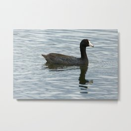American Coot Reflecting on the Water - Photography Metal Print