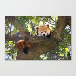 Red Panda Cutie Canvas Print