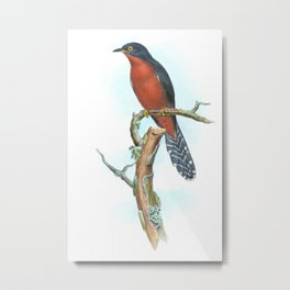 Chestnut Breasted Cuckoo, tropical bird in the nature of Australia & Indonesia Metal Print