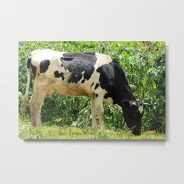 Holstein Cow and Bush Metal Print