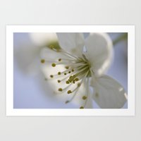 cherry blossoms Art Prints featuring Cherry blossoms by Kathleen Schulze