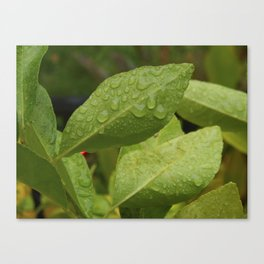 Dewdrop Leaves Canvas Print