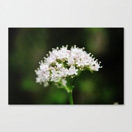 Tiny white garden flowers Canvas Print