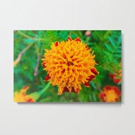 Orange Tagetes flower Metal Print