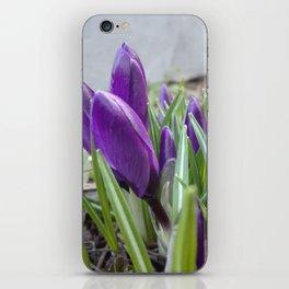 buds of crocuses iPhone Skin