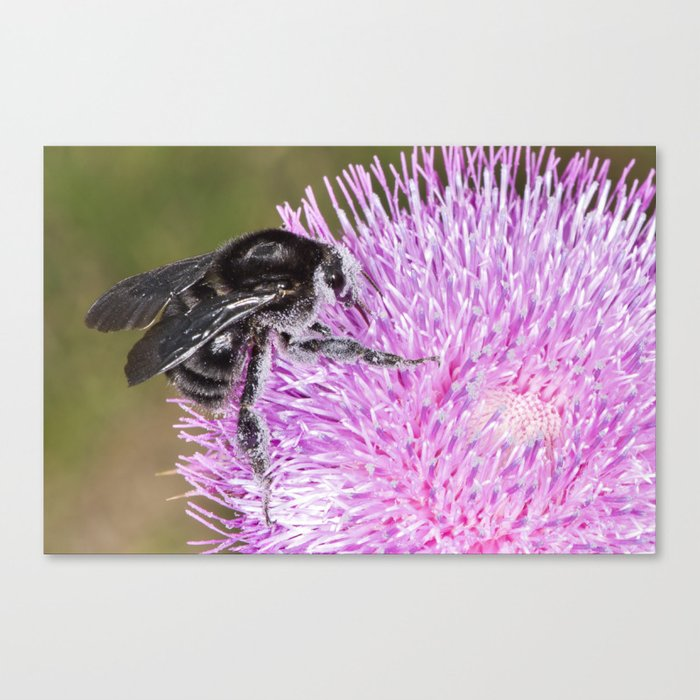 Bumblebee on Thistle Flower 02 Canvas Print