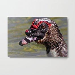 Male Muscovy Duck Metal Print