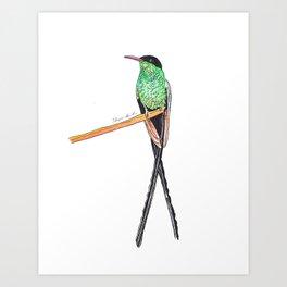 Jamaican Long Tail Humming bird Art Print