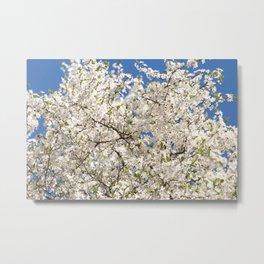 white flowers of Cerasus Metal Print