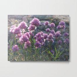Wild chives flowering Metal Print
