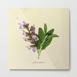 Vintage botanical print - Clary Sage Metal Print