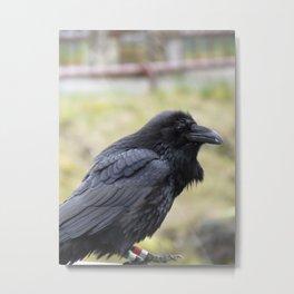 Calfornia Raven Metal Print
