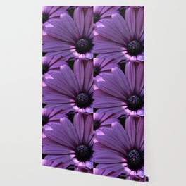 Osteospermum Wallpaper