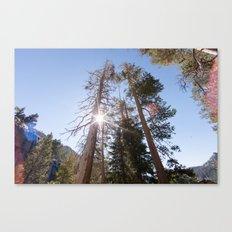 Mountainside Jeffrey Pine Trees (Lower Echo Lake, California) Canvas Print