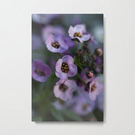 Lavender Alyssum Metal Print