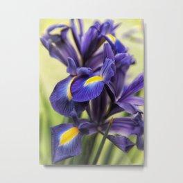 Iris Spring Purple, Gold, Green Metal Print