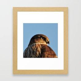 Young Cooper's Hawk Framed Art Print