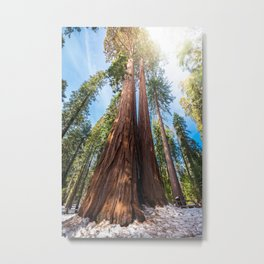 Giant Sequoia Trees in snow Metal Print
