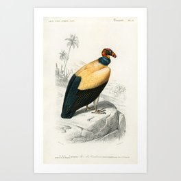 King vulture (Sarcoramphus papa) illustrated by Charles Dessalines D Orbigny (1806-1876) Art Print