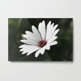 Daisy flower blooming close-up Metal Print
