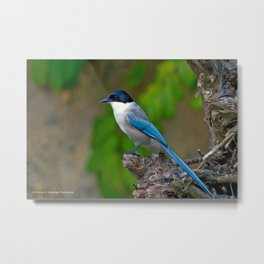 Azure-winged Magpie Metal Print
