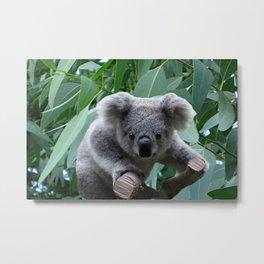 Koala and Eucalyptus Metal Print