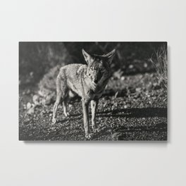 Coyote in Black and White Metal Print