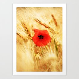 Poppies in the cornfield Art Print