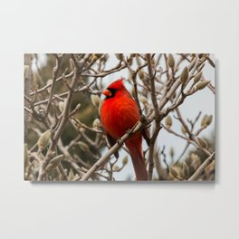 Cardinal in Pussywillow Metal Print