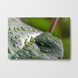 Waxy leaf after the morning rain Metal Print