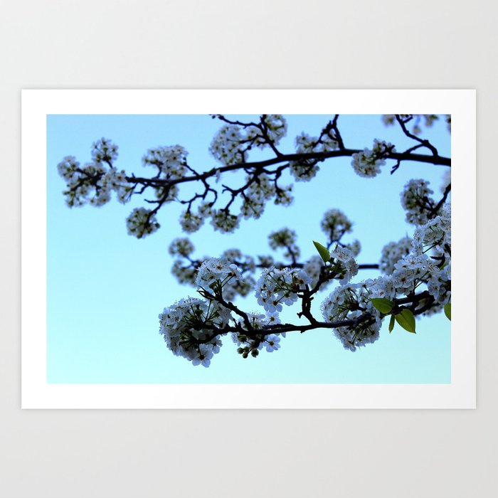 Early Morning Pear Blossom Art Print